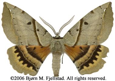 Sưu tập Bộ cánh vẩy  - Page 5 Chelepteryx%20chalepteryx%20male%2097%20mm